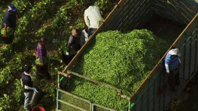 Irrigation et ramassage de haricots