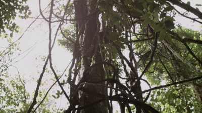 Forêt primaire, canopée