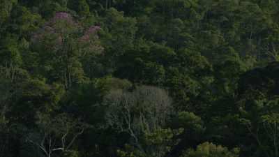 Arbre violet au coeur de la forêt amazonienne
